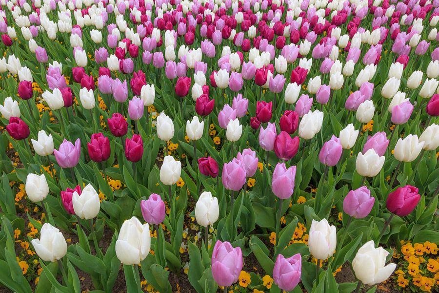 Rode, paarse en witte tulpen van Tim Abeln