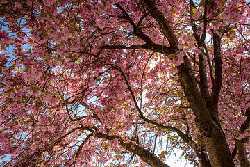 Roze kersenbloesem van Larisa Landré