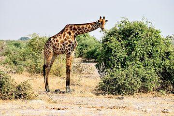 Giraffe greift zarten Zweig von Merijn Loch