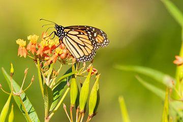 Schmetterling von Merijn Loch