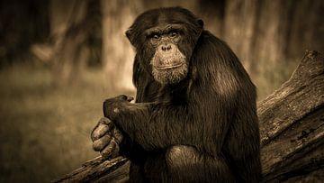 Schimpanse Lana von Irma Heisterkamp
