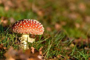 Rode en witte paddestoel in gras