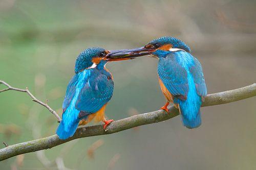 IJsvogel - Liefde aan de waterkant