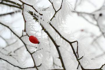 Hagebuttenzweige mit langen gefrorenen Eisnadeln vom Rauhreif im Winter, Kopierraum, ausgewählter Fo von Maren Winter