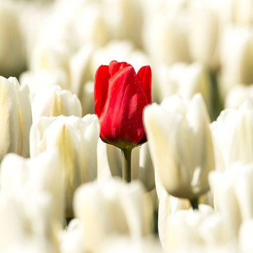 Rode tulp in wit van Gert Hilbink
