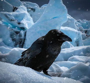 IJslandse reuzen Kraai van Marjon Boerman