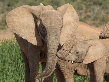 Afrikaanse olifant met jong. van