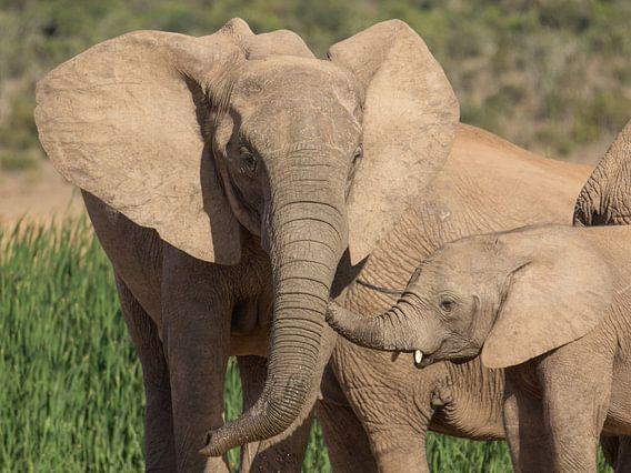 Afrikaanse olifant met jong.