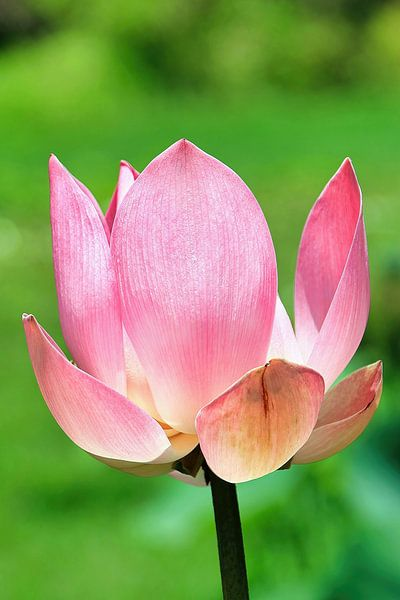 Heiliger Lotus von Eduard Lamping