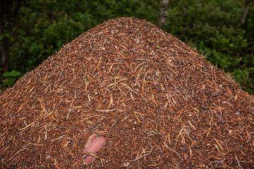 mierenhoop in bos in Finland van Eric van Nieuwland