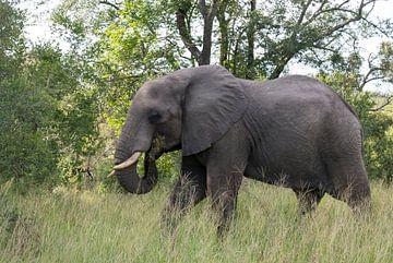 big elephant in kruger park van