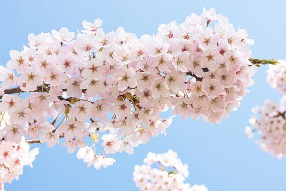 prunus bloesem van eric van der eijk