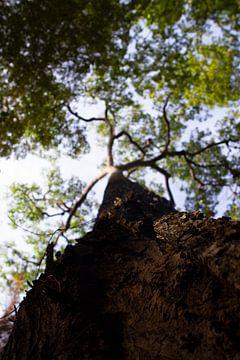 Waldgiganten, die in den Himmel ragen. von rene marcel originals