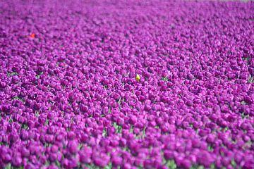 Lila Tulpen von JTravel