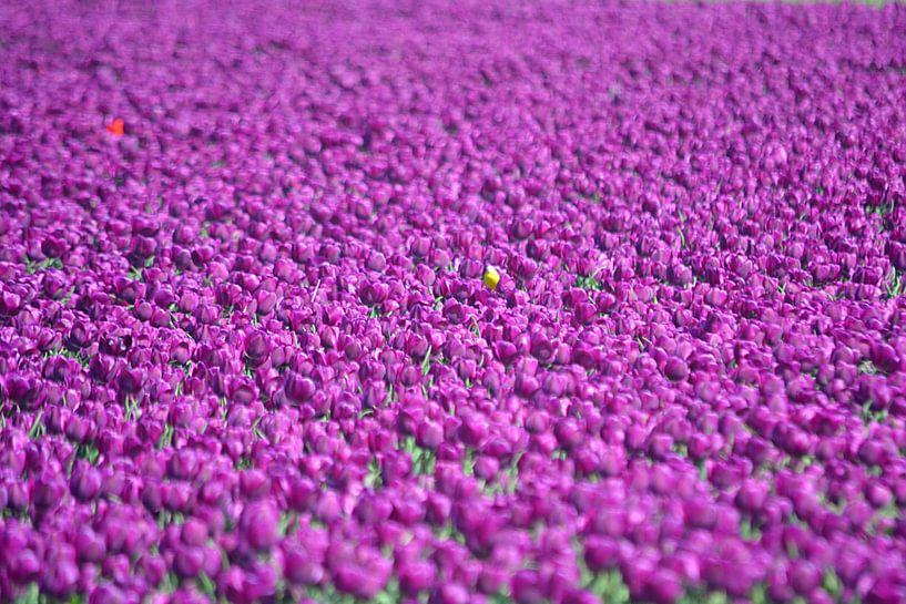 Paarse tulpen van JTravel