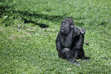 Fragend ängstlicher Blick des süßen Baby-Gorillas auf hellgrünem Gras von Michael Semenov