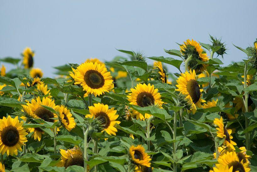 Zonnebloemen in de polder. van Bas Smit