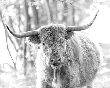 Schotse Hooglander zwartwit portret II