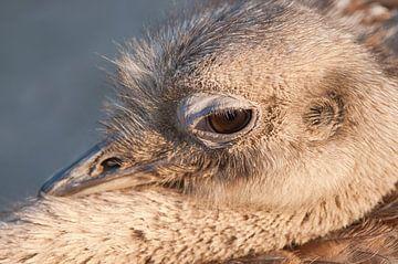 Struisvogel : Diergaarde Blijdorp van Loek Lobel