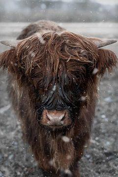 Schottischer Highlander im Schnee von Manon Moller Fotografie
