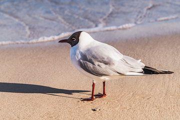 Black-headed gull van Gunter Kirsch