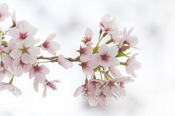 Kersenbloesem, macro van Nynke Altenburg