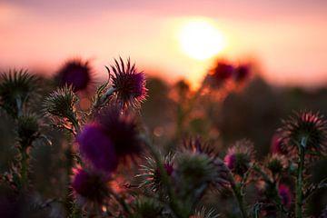 Blühende Distel während eines Sonnenuntergangs auf Schiermonnikoog von Karijn Seldam
