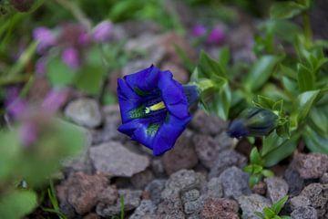 Diepblauwe bloem Koningsblauw von Roberto Zea Groenland-Vogels