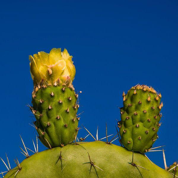 Cactusbloem van Harrie Muis