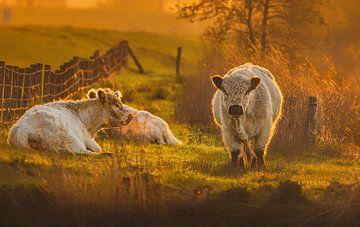 Koeien ontwaken van natascha verbij