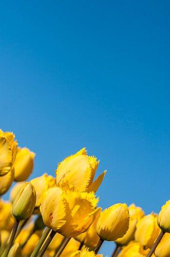 Gele Tulpen 002