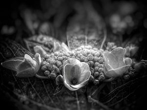 Hortensia in zwart wit van