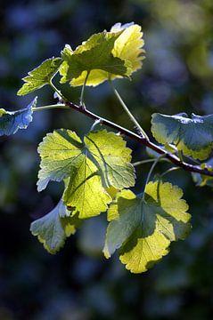 Blätter im Gegenlicht van Susanne Herppich