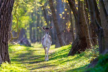 Damhert op het eindeloze bospad van Robbert De Reus