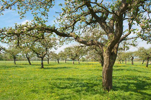 Apfelbäume in einem Obstgarten von Sjoerd van der Wal