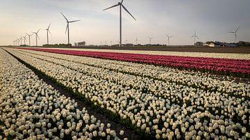 Weiße und rosa Tulpen in einem Polder voller Windmühlen von Studio de Waay