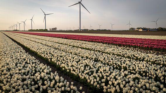 Witte en roze tulpen in de polder vol met windmolens