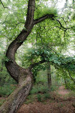 Baum in den Oisterwijkse Vennen von Eddy Westdijk
