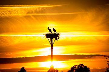 Ooievaars op nest in de avondzon van piet douma