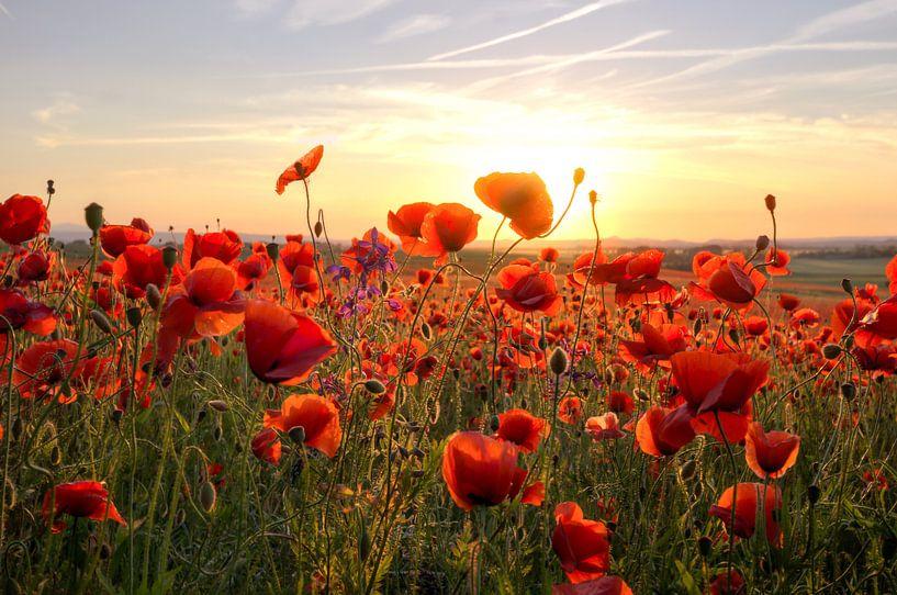 Poppys Sunset van Steffen Gierok