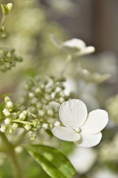 Witte Hortensia in de zon von DoDiLa Foto's