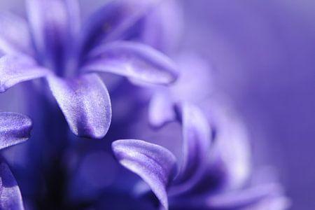 Hyacint Macro von Robin Meester