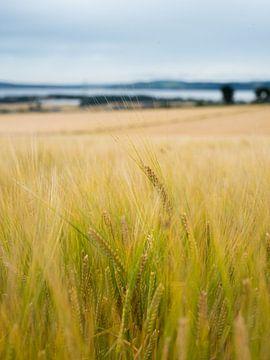 Graanvelden   Dundee Schotland   reisfotografie van Mariska Scholtens
