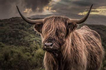 Schottischer Highlander 2 von Freddy Hoevers