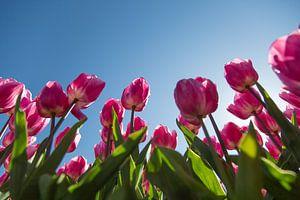 Tulpenveld van Willy Sybesma