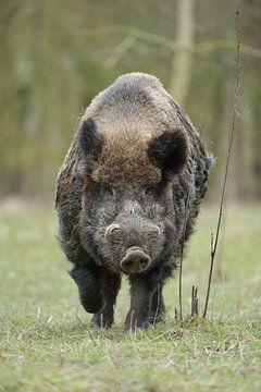 Wildschwein ( Sus scrofa ), starker Keiler von wunderbare Erde