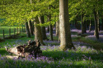 Licht fällt durch den Waldblumenwald von Roelof Nijholt