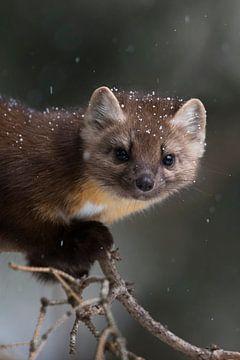 snow flakes... Pine Marten *Martes americana* in winter van