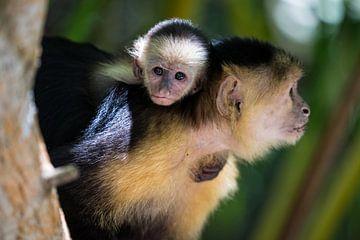Kapucijnaapje met jong van Iris Hagemans