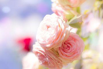Sommerrosen von Dagmar Marina